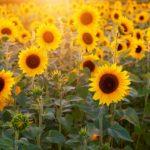 カナダの向日葵(ひまわり)畑で太陽を全身に感じる!